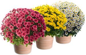 Chrysanthèmes pomponettes (à petite fleurs)