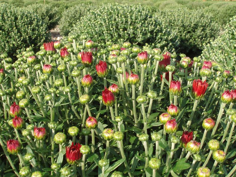 Le début de floraison d'un chrysanthème à petites fleurs