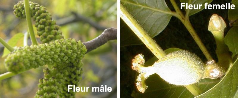 fleur-mal-femelle