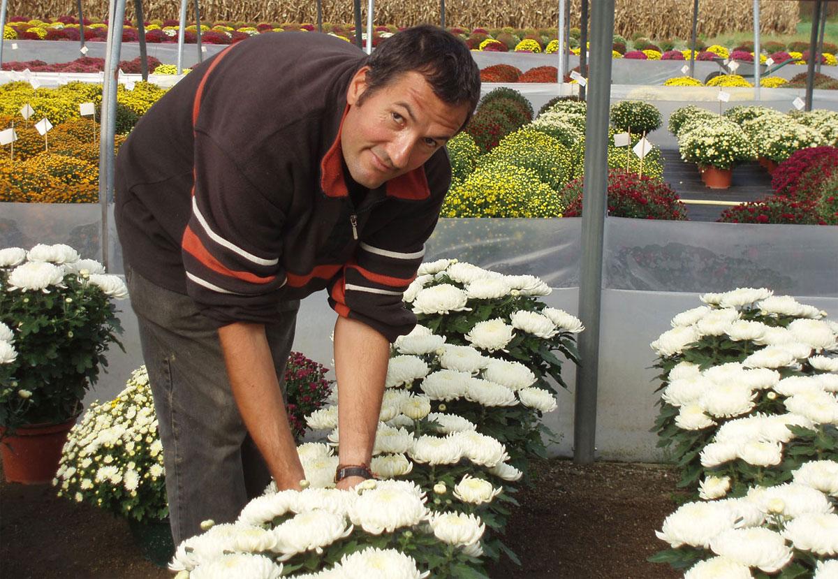 Jean-Michel en train de pratiquant l'éboutonnage des chrysanthèmes à grosses fleurs